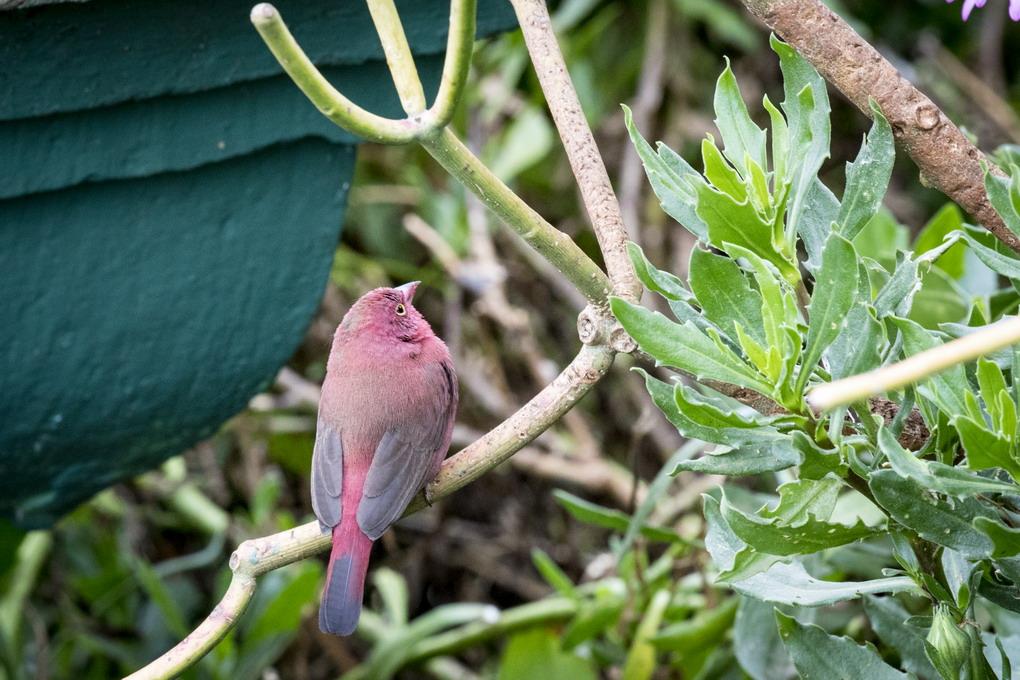 Red Billed Firefinch (Senegalamarant Lagonosticta Senegala)