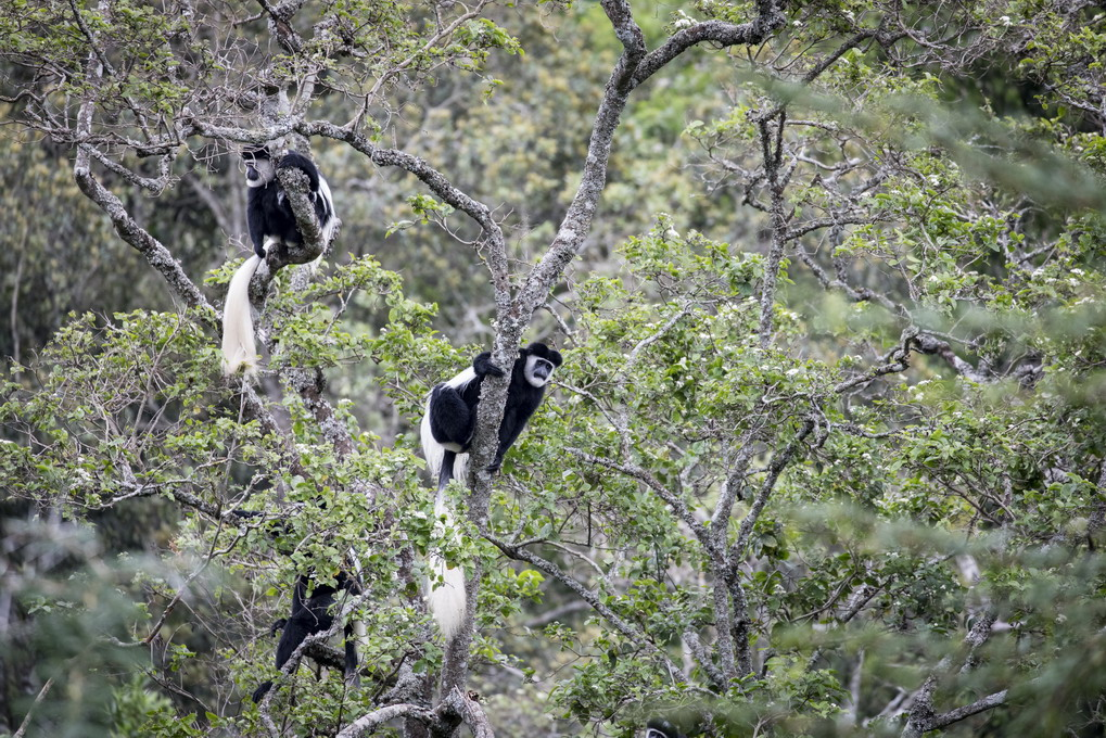 Black And White Colobus (Guereza Mbega Mweupe)