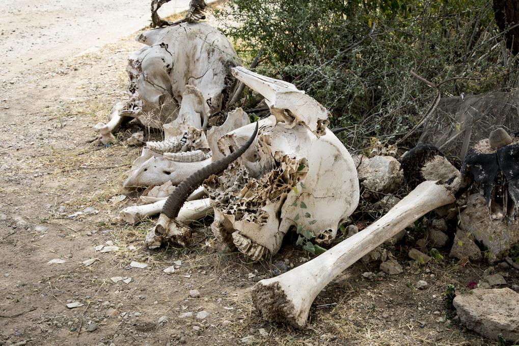 Knogler Elefant (Elephantidae)