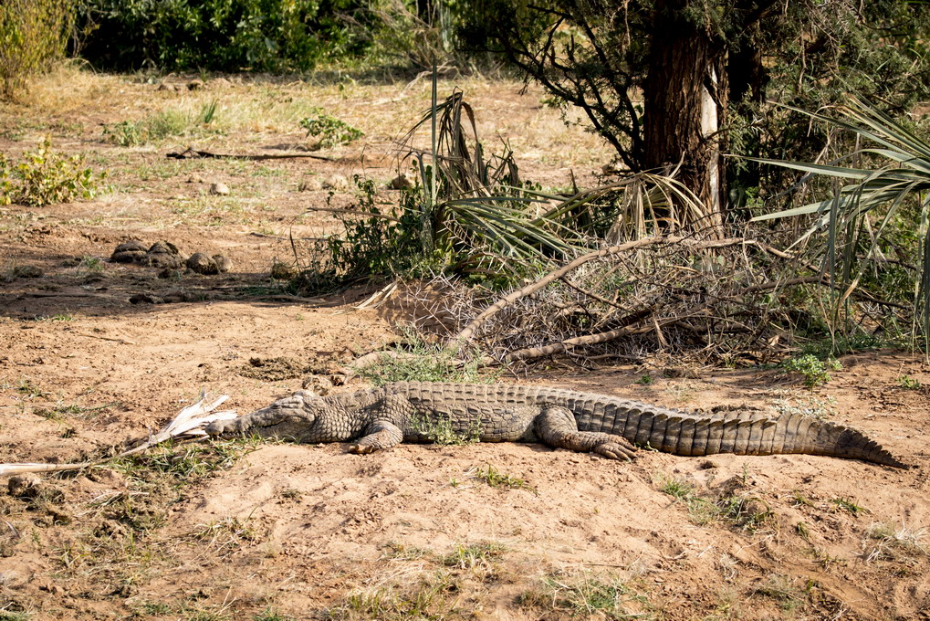 Krokodille (Crocodilia)