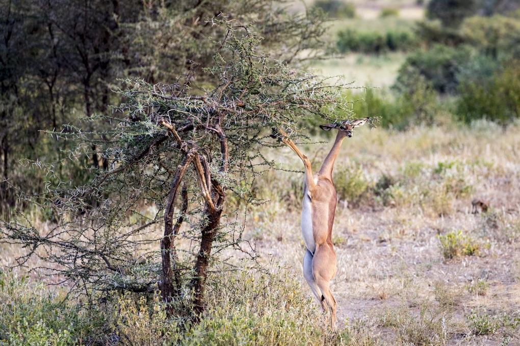 Giraf Antilope (Litocranius Walleri)
