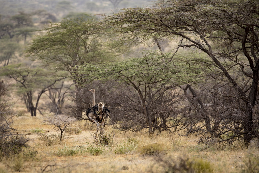 Somalistruds (Struthio Molybdophanes)