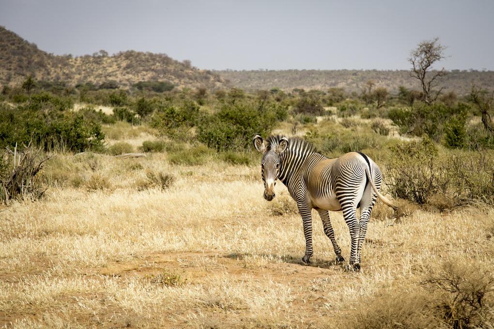Grevys Zebra (Equus Grevyi)