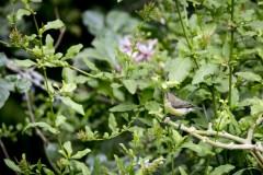 Bronze Sunbird (Nectarinia Killimensis)