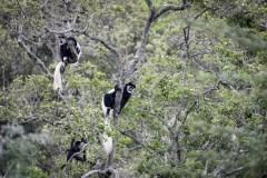 Black And White Colobus (Guereza Mbega Mweupe)