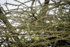 Rødbuget Brunpapegøje (Poicephalus Rufiventris)