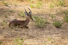 Impala Antilope (Aepyceros Melampus)