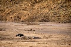 Grib (Gryphus) - Krokodille (Crocodilia)