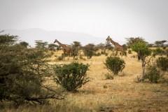 Netgiraf (Giraffa Reticulata)