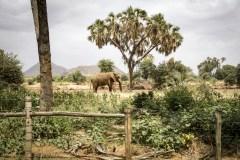 Elefant (Elephantidae)