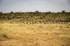 Oryx Antilope (Oryx Beisa)