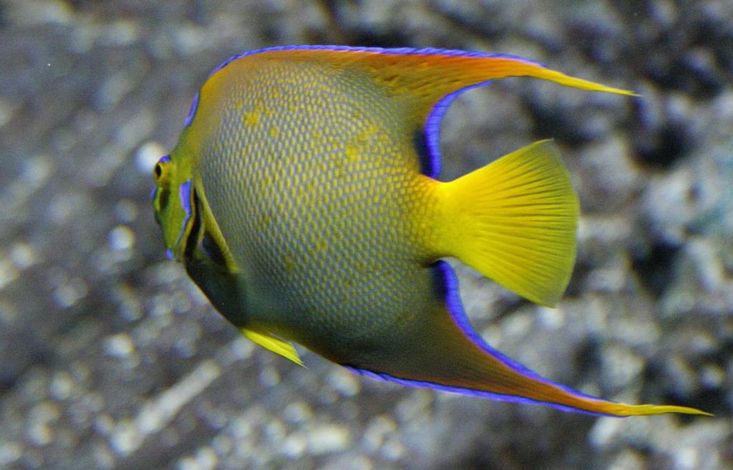Dronningekejserfisk (Holacanthus Ciliaris)