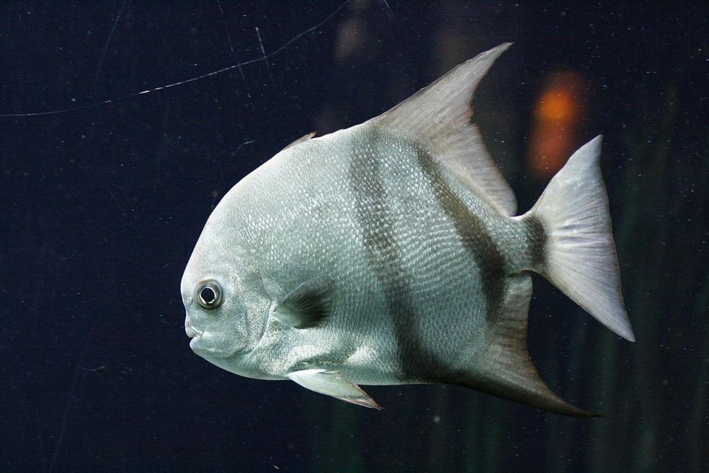 Spadefisk (Chaetopiterus Faber)