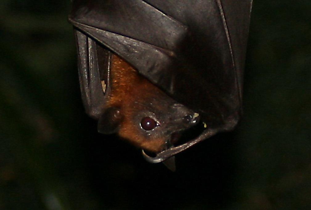 Lyles Flyvende Hund (Pteropus Lylei)