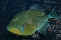 Dronningaftrækkerfisk (Balistes Vetula)