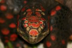 Rødfodet Skovskildpadde (Geochelone Carbonaria)
