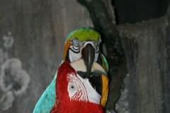 Lyserød Ara (Ara Macao)