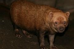 Skovhund (Speothos Venaticus)
