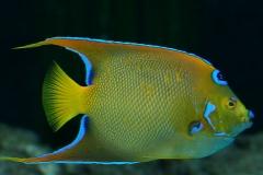 0701-dronningekejserfisk-holacanthus-ciliaris