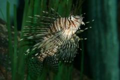 Almindelig Dragefisk (Pterois Volitans)