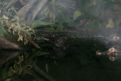 Dværgkaiman (Paleosuchus Palpebrosus)