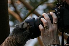 Hvidøret Silkeabe (Callithrix Jacchusabe)