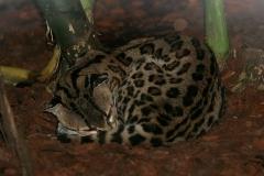 Margaykat (Leopardus Wiedii)