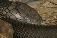 Indlandstaipan (Oxyuranus Microlepidotus)